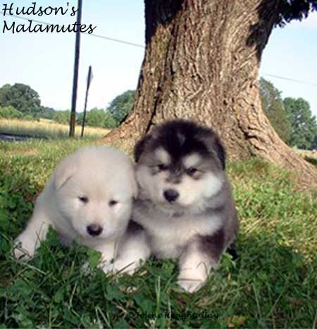 Malamute Puppies on Malamute Bred Alaskanalaskan Malamute Dog Breed The Alaskan Malamutes