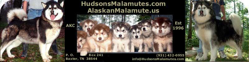 Hudsons Alaskan Malamutes - AKC bred for temperament, quality and size