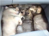 Hudson's Malamutes - Tired movie star Hudson's puppies on the way home after their big day in the spotlight
