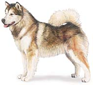 AKC drawing of Alaskan Malamute
