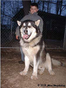 Hudons Malamutes - Alex with Thumper