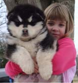Hudson's Malamutes - Adorable Gray/White Puppy! - A Puppy is a big investment. You have to have love and understanding. You have to have a commitment to training.