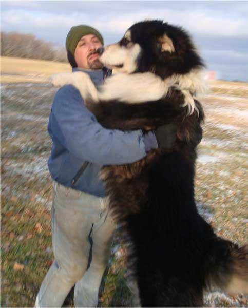 Giant Malamute Info Giant Alaskan Malamutes