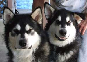 Hudsons Malamutes - Summer and Thunder